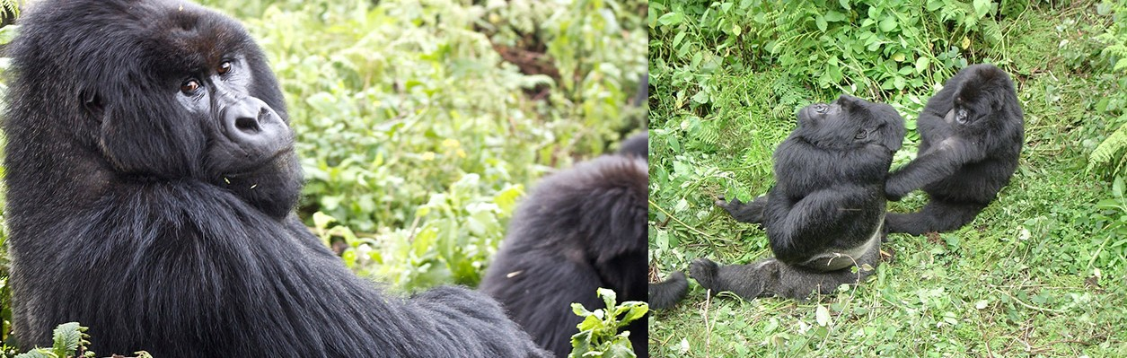 mountain-gorillas-in-ruhija