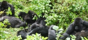 11 Days Gorilla safari Uganda wildlife & chimpanzee trekking tour