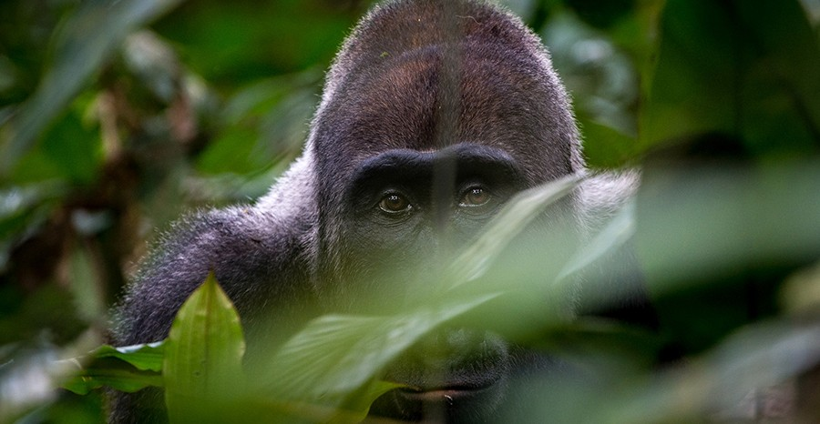 lowlandgorillas-congo-safari-tours
