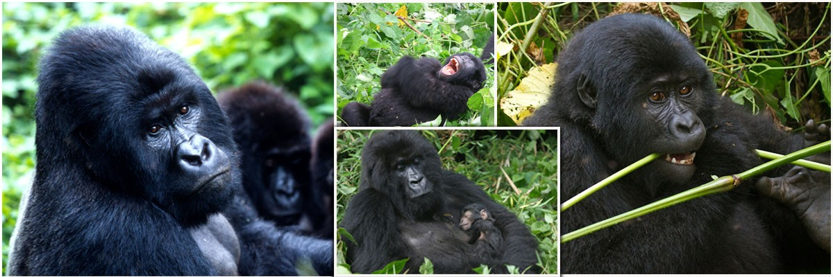 Mountain Gorilla in Uguanda