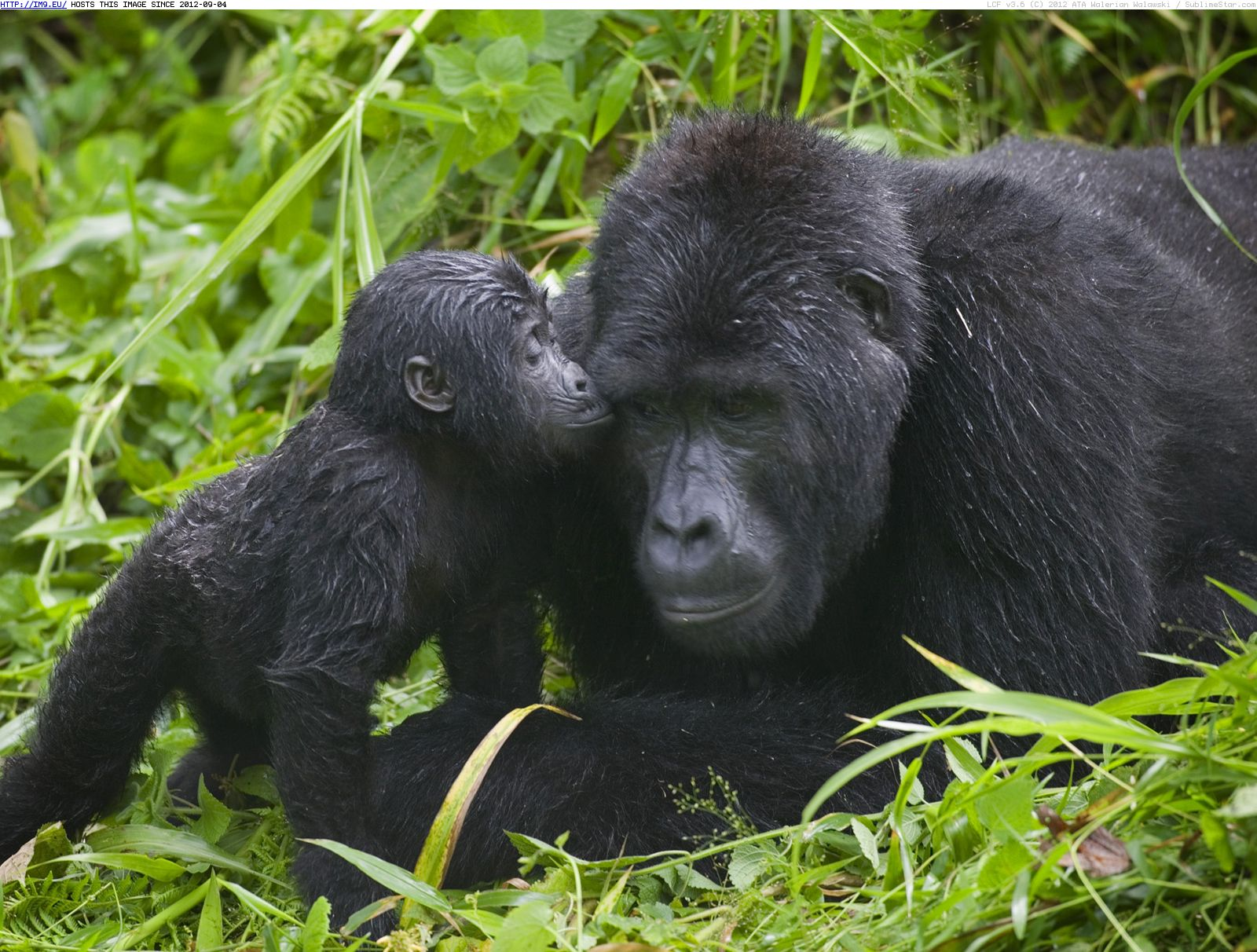 A mother mountain gorilla with baby