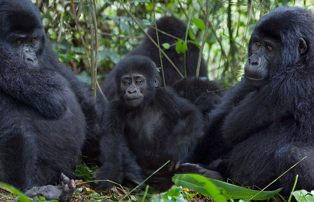 New Gorilla Family in Bwindi Impenetrable National Park-Uganda Safari News