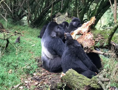 Gorilla Numbers In Bwindi Impenetrable National Park Uganda Rise – Uganda Safari News
