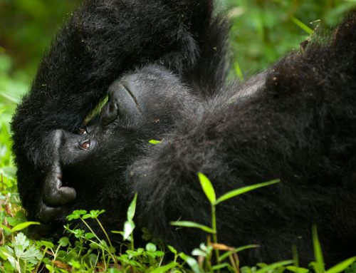 UNFORGETTABLE ENCOUNTER WITH THE ENDANGERED MOUNTAIN GORILLAS OF UGANDA