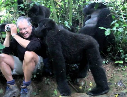 Mountain Gorilla Habituation in Bwindi Impenetrable National Park-Uganda safari news