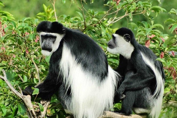 Black & white colobus monkeys