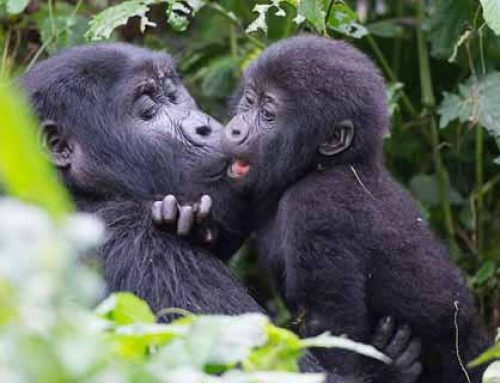 Why Female Gorillas Are Important in Gorilla Families!