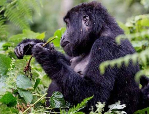 Can The Disabled & Physically Unfit Persons Trek Gorillas in Rwanda?